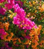 Flores de la buganvilla Imagenes de archivo