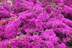 Flores de la buganvilla Foto de archivo