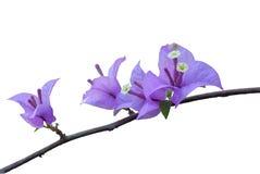 Flores de la buganvilla Imágenes de archivo libres de regalías
