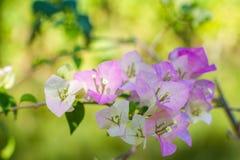 Flores de la buganvilla Fotografía de archivo