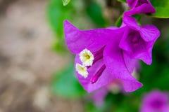 Flores de la buganvilla Imagen de archivo libre de regalías