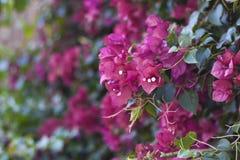 Flores de la buganvilla Imagen de archivo