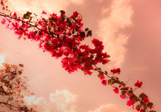 Flores de la buganvilla con estilo rojo del vintage Foto de archivo