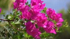 Flores de la buganvilla en costa mediterránea metrajes