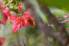 Flores de la buganvilla en jardín imagen de archivo