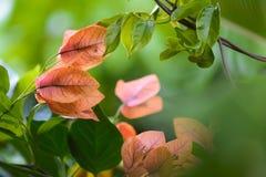 Flores de la buganvilla en jardín fotografía de archivo