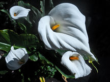 Flores de la cala Fotos de archivo