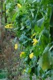 Flores de la calabaza Imagenes de archivo