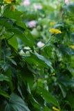 Flores de la calabaza Fotos de archivo libres de regalías