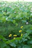 Flores de la calabaza Fotografía de archivo