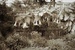 Flores de la calabaza Fotografía de archivo libre de regalías
