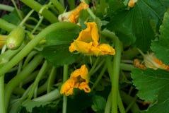 Flores de la calabaza Imagen de archivo libre de regalías