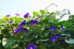 Flores de la campánula Foto de archivo libre de regalías