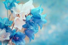 Flores de la campánula Imagen de archivo libre de regalías