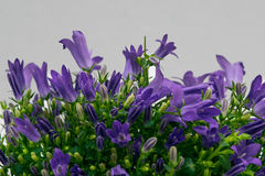 Flores de la campánula Fotografía de archivo