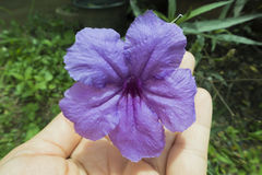 Flores de la captura, flor Toy Ting Foto de archivo libre de regalías