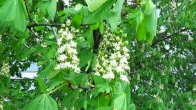 Flores de la casta?a Rama con una flor grande metrajes