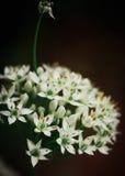 Flores de la cebolla Imagen de archivo