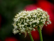 Flores de la cebolla en fondo rojo Fotografía de archivo libre de regalías
