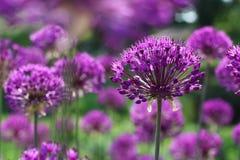 Flores de la cebolla púrpura Fotos de archivo