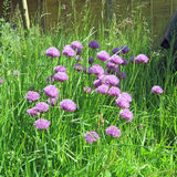 Flores de la cebolleta en el jardín Fotos de archivo libres de regalías