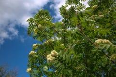 Flores de la ceniza de montaña Flores de la macro de la ceniza de montaña Imagen de archivo