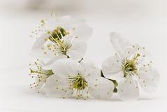 Flores de la cereza Imagen de archivo libre de regalías