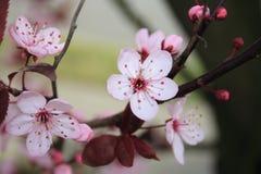 Flores de la cereza Fotos de archivo