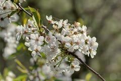 Flores de la cereza Fotos de archivo libres de regalías