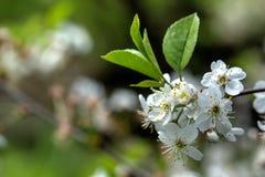 Flores de la cereza Fotografía de archivo libre de regalías