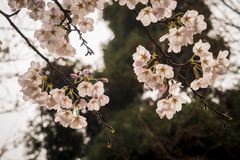 Flores de la cereza Foto de archivo libre de regalías