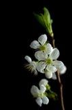 Flores de la cereza aisladas en negro Foto de archivo libre de regalías