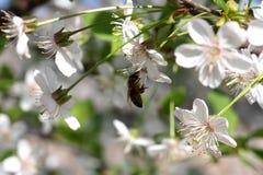 Flores de la cereza con la abeja Imagenes de archivo
