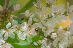 Flores de la cereza con las hojas coloreadas verdes claras imagen de archivo libre de regalías
