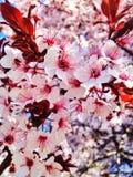 Flores de la cereza de la primavera Imágenes de archivo libres de regalías