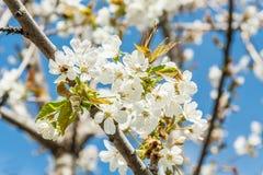 Flores de la cereza de la primavera con la abeja Imagenes de archivo