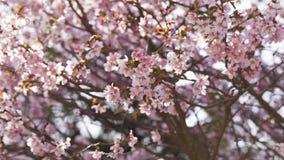 flores de la cereza de Sakura en la floración almacen de video