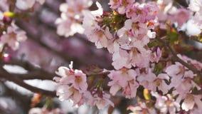 flores de la cereza de Sakura en la floración almacen de metraje de vídeo