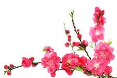 Flores de la cereza del resorte Fotografía de archivo