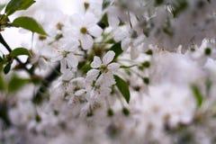 Flores de la cereza en árbol foto de archivo