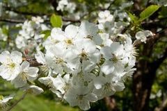 Flores de la cereza en el jardín Fotos de archivo