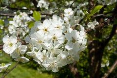 Flores de la cereza en el jardín Fotografía de archivo libre de regalías