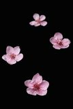 Flores de la cereza en negro Imagen de archivo libre de regalías