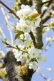 Flores de la cereza en tiempo de primavera Fotos de archivo libres de regalías