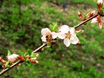 Flores de la cereza en una rama de la primavera Imagen de archivo libre de regalías