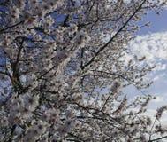 Flores de la cereza Floración del cerezo Fotografía de archivo libre de regalías