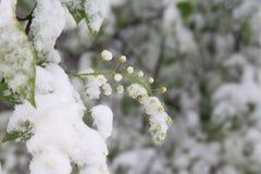 Flores de la cereza de pájaro debajo de la nieve Resorte en Siberia Fotografía de archivo libre de regalías