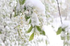 Flores de la cereza de pájaro debajo de la nieve Resorte en Siberia Fotos de archivo