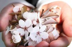 Flores de la cereza y corteza de abedul Foto de archivo