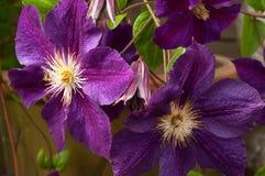 Flores de la clemátide Imagen de archivo libre de regalías